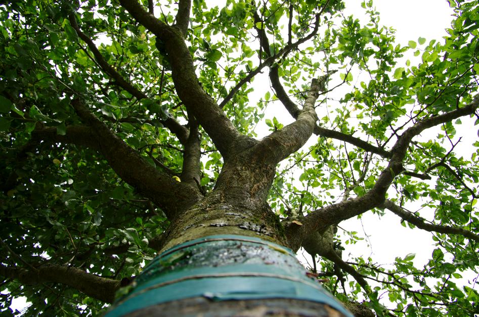 Obstbaum nach der Pflege