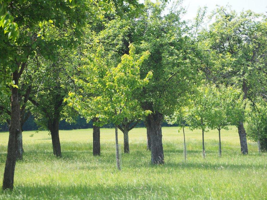 Obstbaumschnitt an Streuobstwiese